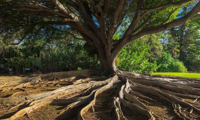 Banyan tree and root system in Hawaii